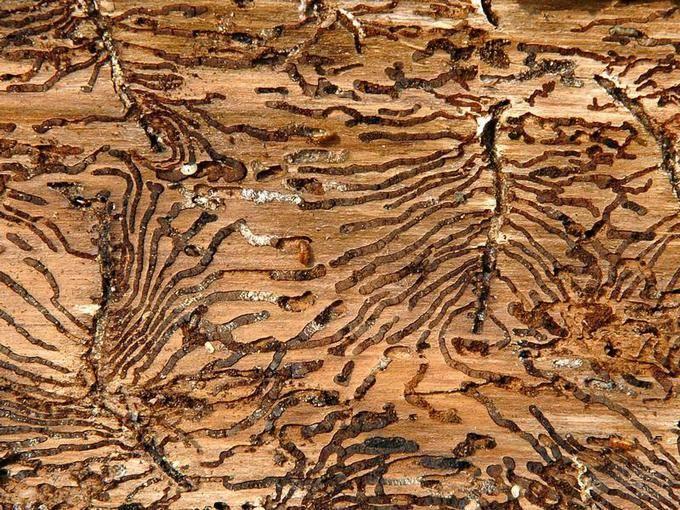 Lieblings Vom Borkenkäfer befallene Bäume schnell fällen &QI_08