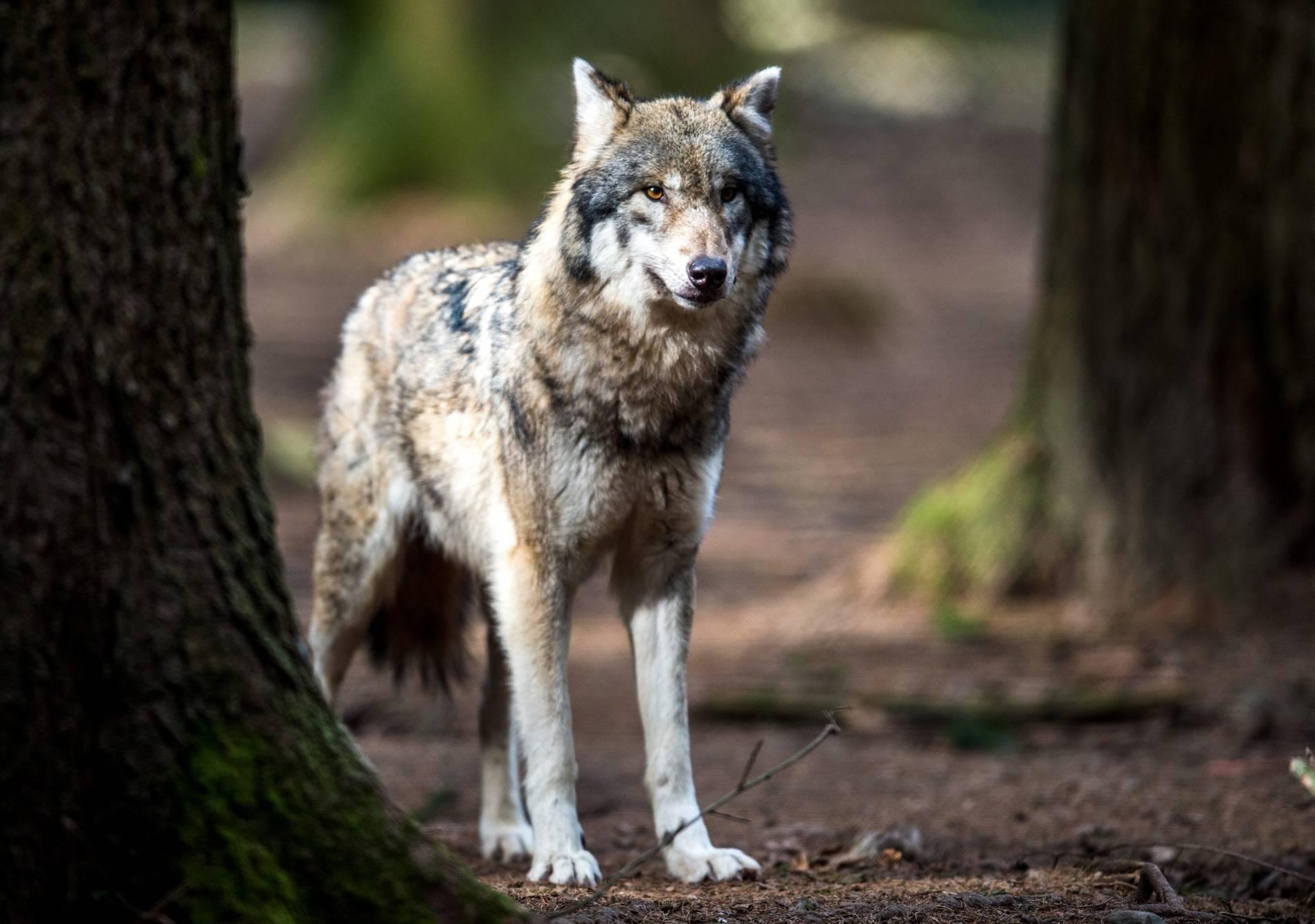 Geschichte Des Wolfes In Der Eifel